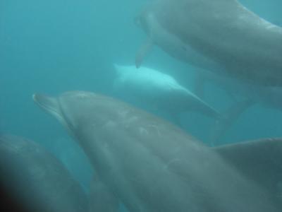 2009年御蔵島でドルフィンスイム