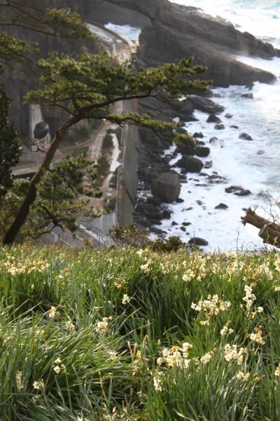 福井再発見 水仙の咲く越前海岸