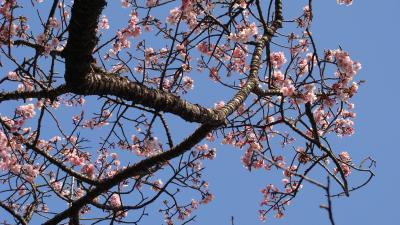 松月院の寒桜は5分咲きに近かった。