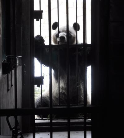 大熊猫/北京動物園