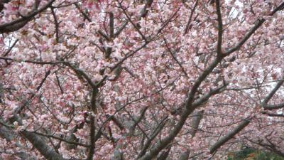 抱湖園近辺の元朝桜は満開だった。