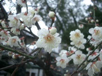 大阪天満宮の梅はまだはやかった