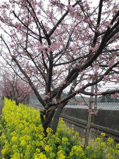 早春の花まつり (小田原の梅と三浦海岸の河津桜)