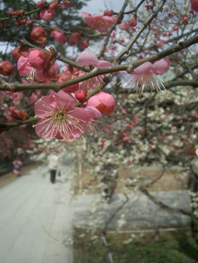 北野天満宮はいつ来ても梅が咲いている?いや、梅の季節に来ているのです。