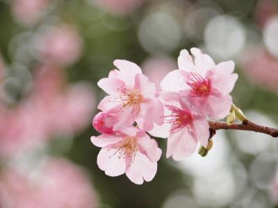 2010年2月 横浜は金沢八景近く、落ち着いた雰囲気の龍華寺の梅と寒桜