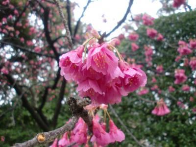 品川区で桜探し