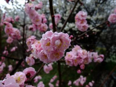 雨の中、月ヶ瀬の梅まつりへ【その3】