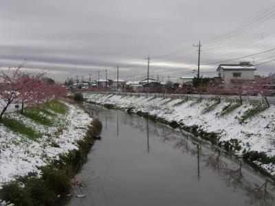 雪の中の河津桜