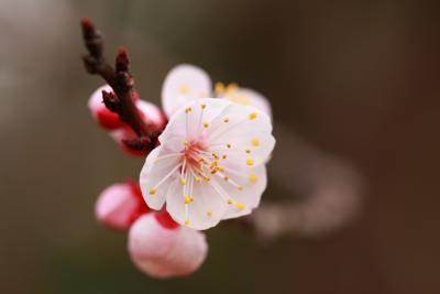 桜開花情報 高知城