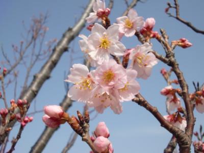 新習志野で啓翁桜みっけ