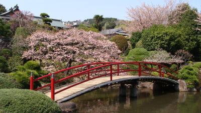 松月院の大寒桜