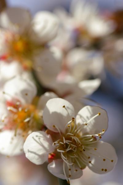 水戸偕楽園の遅咲きの梅とあんこう鍋に舌づつみ