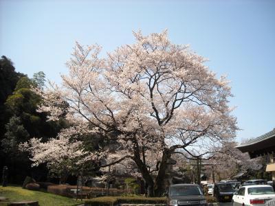 2010年の桜その1 ~鵜飼桜~