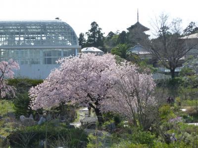 「2010年高知の桜①」センダイヤサクラ満開!!『高知県立牧野植物園』