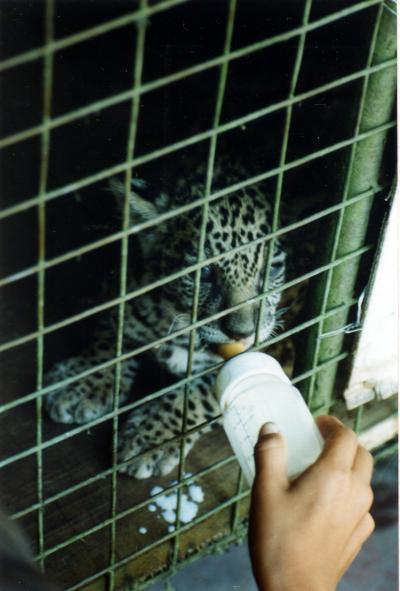 IQUITOS(イキトス)の動物園のベビー・ジャガーにビビッた日
