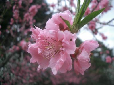 御苑の桃林。色の多彩さと香りがすばらしい。