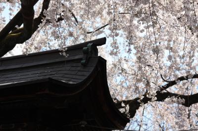 【京都桜2010】 京都の花見シーズンの幕開け 「平野神社 魁桜(サキガケ)」