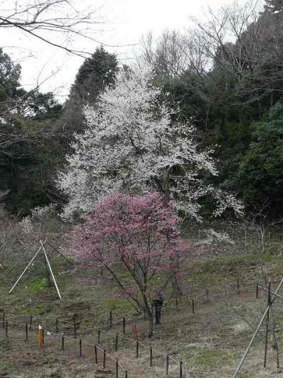 多摩森林科学園で早咲きの桜