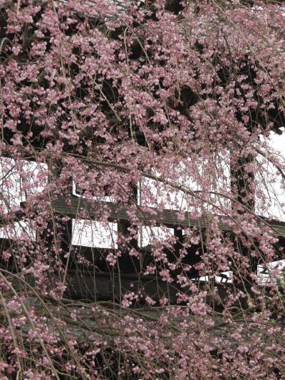 はかない日差しの下の小川町カタクリ詣(2)心慰められた可憐な春の花