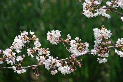 2010春、五分咲の五色園の桜(2):3月30日(2):ソメイヨシノ、大安寺本堂、明治天皇・皇后立像