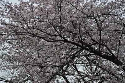 熊谷基地さくら祭『ブルーインパルス』