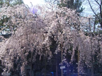 お花見その1:和歌山城・紀三井寺で桜♪