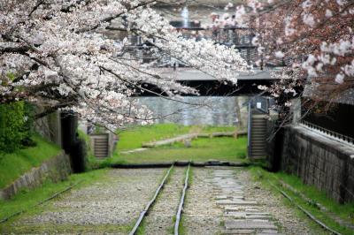 京都を歩く(48) 桜花爛漫!桜化粧の京の街を行く