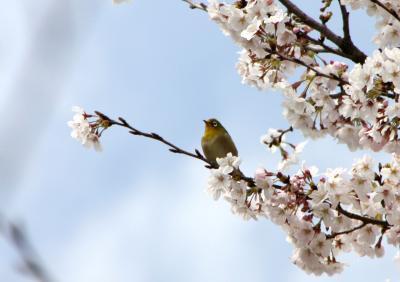 ★山陽小野田市の桜めぐり