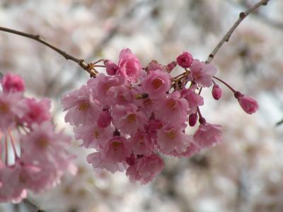ちゃりで桜見物