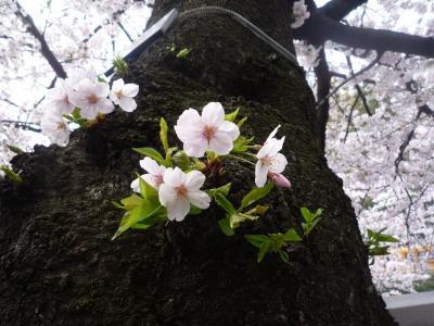 2010年04月 神田川の桜