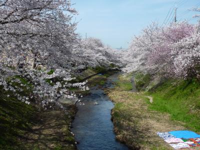満開の桜 2010玉川堤と地蔵禅院 <京都府綴喜郡井手町>