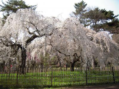 桜満開♪ 京都御所のしだれ桜 2010