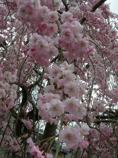 身延山しだれ桜