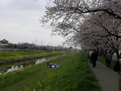 春爛漫 満開の桜を見ながらウォーキング大会