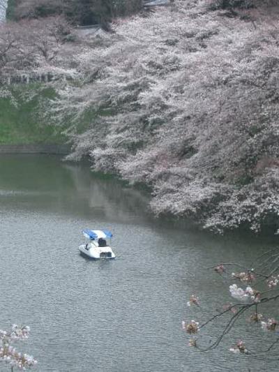 今年も来ました千鳥が淵。ここの桜は最高です。