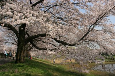 Tirp in  大宮 桜の花、舞い上がる大宮公園