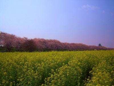 お花見~権現堂桜堤の桜と百観音温泉~ Cherry blossoms