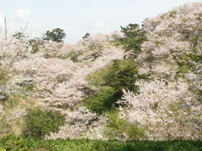 桜の名所竜王山での花見と、きらら海岸散策