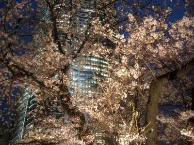 毛利庭園で夜桜見物