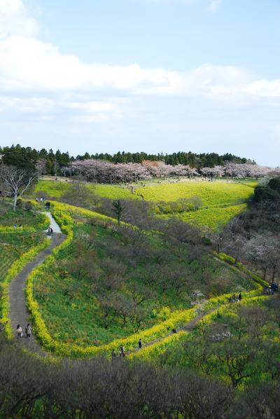 マザー牧場から春の便り ~桜と菜の花とゆかいな羊たち~