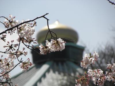 2010年4月 散りゆく桜(王子、九段下)