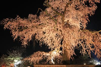 洛東 円山公園(まるやまこうえん)、ライトアップの枝垂桜 /京都市東山区円山町