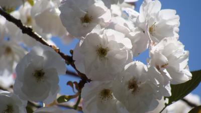 伊豆最福寺枝垂れ桜