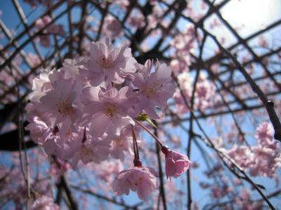 イチオシ!!淡いピンク色の桜が咲き誇る平安神宮