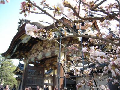 4月初め。いろんな種類の桜が楽しめる二条城