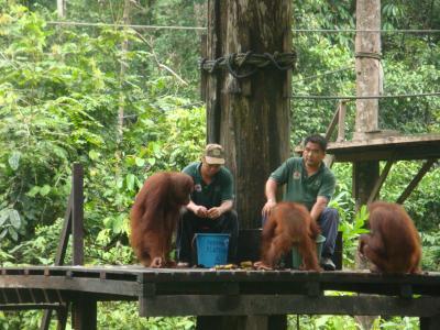 2009年9月ボルネオ・ジャングル一人旅⑨「セピロックでオランウータンに出逢う!さよなら、ボルネオ」