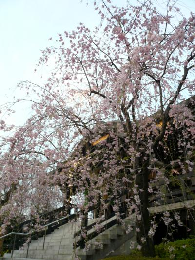 南蔵院のしだれ桜
