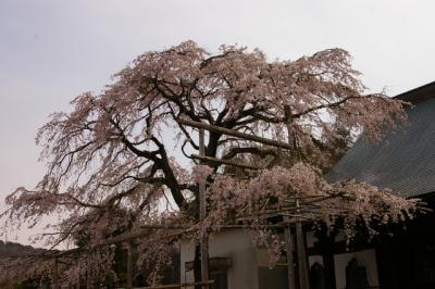 2010 桜日記 第3弾  伊豆の国市 桜ウォーキング