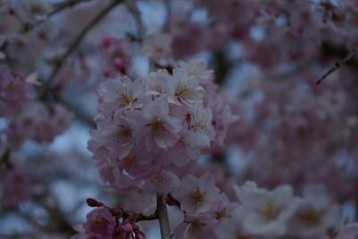 飯田の桜めぐり 1日目