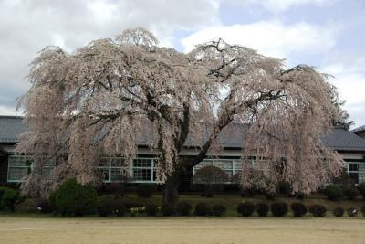 再び飯田の桜